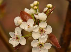 一組潔白如雪的梨花高清圖片欣賞