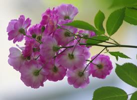 一组粉色美美的蔷薇花图片欣赏