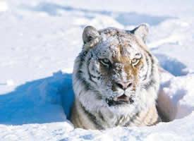一组雪中霸气的白额虎图片观赏