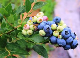 一大捶一大捶的,挨挨擠擠的藍莓真惹人喜愛