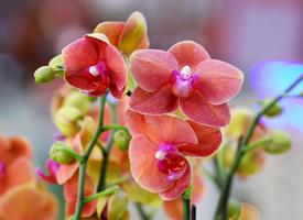 綻放的蝴蝶蘭花看起來像在綠意蔥籠中上下翩飛的美麗的蝴蝶