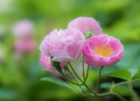 粉嫩养眼花卉唯美摄影图片高清壁纸