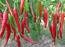 秋,給人以涼意,辣椒的紅,給人以暖暖的味道