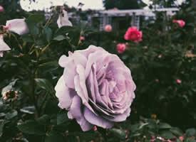 玫瑰-浑身都是刺,别人才会照顾你的感受