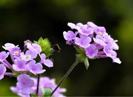 五色梅的花色豐富多變,從初開到完全綻放會不斷變換顏色