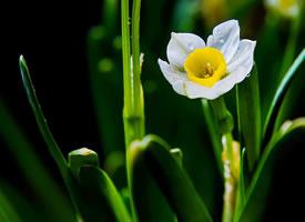 洁白如玉,花蕊金黄,简净素雅的水仙花图片欣赏