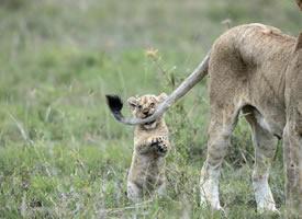 即使是小狮子,也无法抵御逗猫棒的魔
