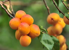 一组甘甜水嫩的杏子图片欣赏