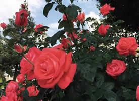 红玫瑰代表着爱情,爱情充满浪漫而富有激情