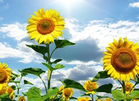 哪怕太阳只停留一秒钟,向日葵也会微笑的绽放