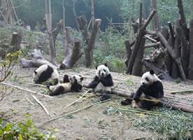 一组正在吃竹子的可爱大熊猫图片欣赏