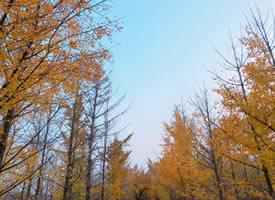 古代传说人秋第一天梧桐有落叶,叫一叶知秋