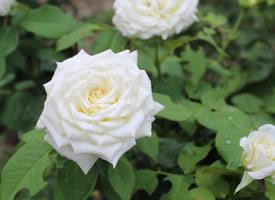 一组高清纯香的白玫瑰高清图片欣赏