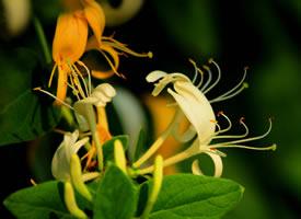 金銀花的花瓣細長,向外卷著漂亮極了