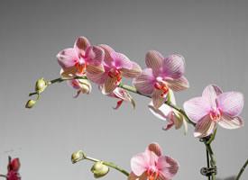 漂亮的蝴蝶蘭唯美高清桌面壁紙
