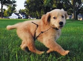 一只在草地上奔跑超可爱的小狗图片