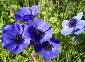 银莲花的样子总是和山巅的云朵和蓝天共存
