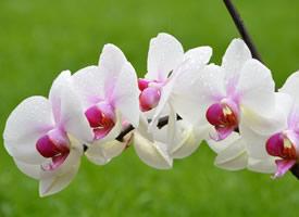 茎端兀立着一大朵摇曳生姿的蝴蝶兰花