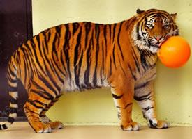 日本宫崎市自然凤凰动物园的这只苏门答腊虎