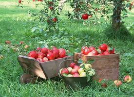 一组看起来就特别诱人的红色苹果图片欣赏