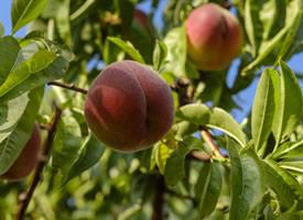 一组香甜多汁的桃子高清图片欣赏