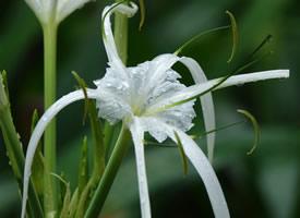 蜘蛛兰的苞片呈卵状披针形,花被?#24425;?#38271;管状