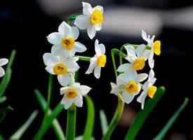 叶姿秀美,花香浓郁,亭亭玉立的水仙花图片
