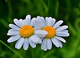 花瓣浓绿正抱似多多白云的小雏菊图片欣赏