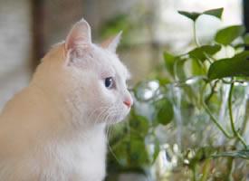 一组拥有雪白毛毛的乖巧可爱的小猫猫图片欣赏