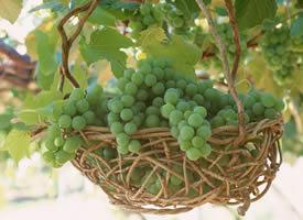 一組掛在樹上超級新鮮的葡萄高清圖片欣賞