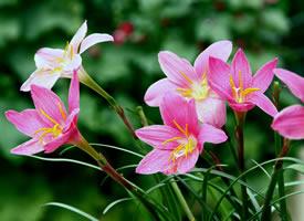 韭蘭花粉紅色的花朵隨處可見非常的漂亮