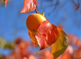 一组挂在树上红彤彤的柿子图片欣赏