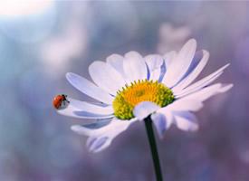一组超美的野生雏菊花特写图片欣赏