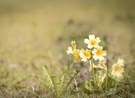 報春花苞片線形或線狀披針形,花梗纖細,花萼鐘狀