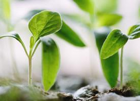 一组刚刚从土里长出来的嫩芽绿叶图片欣赏