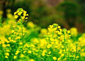 油菜花花海是汉中的一道极美的风景线