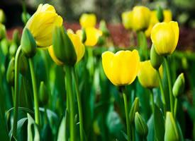 盛开的郁金香的花瓣就像在随风舞动