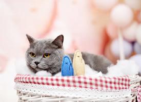 一组超可爱的灰色小猫图片欣赏