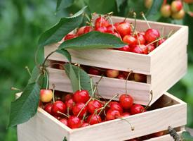 挂在树上红红的樱桃图片欣赏