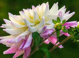 千姿百态带有一股股淡淡的清香的大丽花