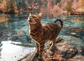 一组可爱有着豹纹皮毛的小猫图片欣赏