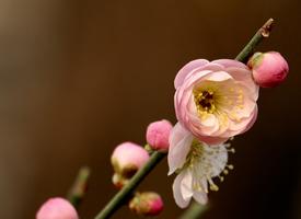 漂亮的梅花唯美高清桌面壁紙