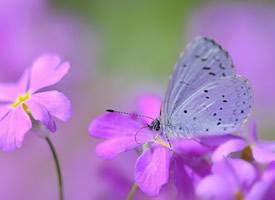 一組超美的蝴蝶停落在花朵的圖片