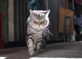 一组走路超霸气的小猫图片欣赏
