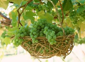 青青的葡萄让人看见就很舒服的颜色