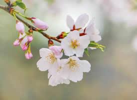 山深未必得春遲,處處山櫻花壓枝