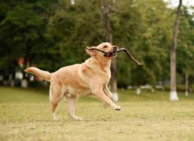 一组超级可爱的金毛狗狗拍摄图片欣赏