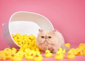 一组超可爱的小猫在一堆小黄鸭里