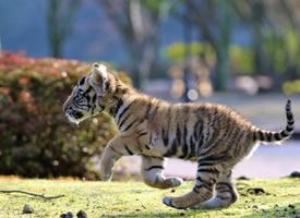 位于日本大分县宇佐市非洲野生动物公园里面的小老虎