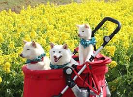 白色柴犬Chiro、Choco、Milk一家三口的春日旅行